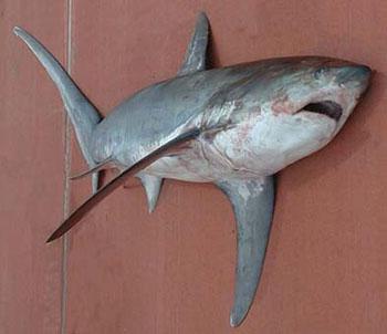 den farligste haj